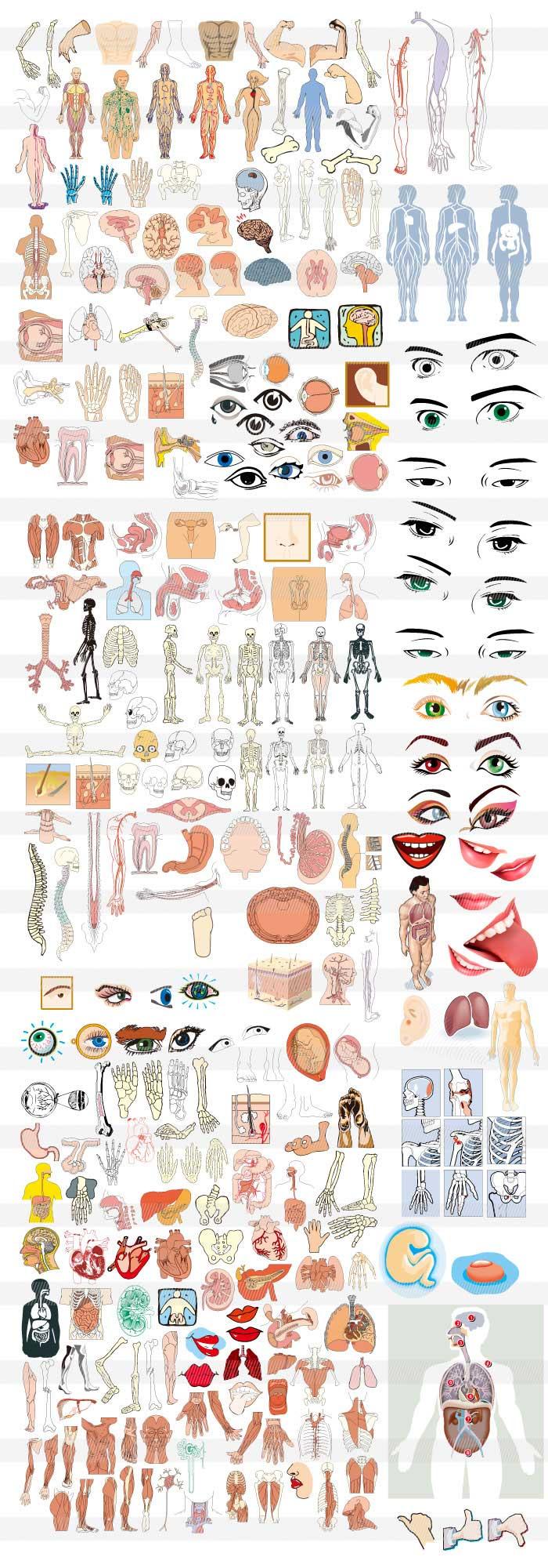 人体模型のイラスト